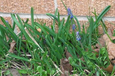 Grape hyacinths just starting to bloom!