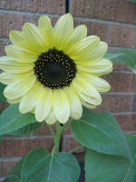 lemon yellow sunflower
