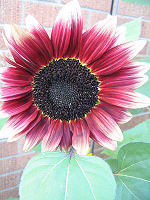 pink lemonade sunflower