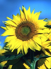 Original sunflower