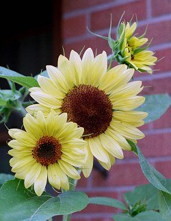 Lemon Queen sunflowers
